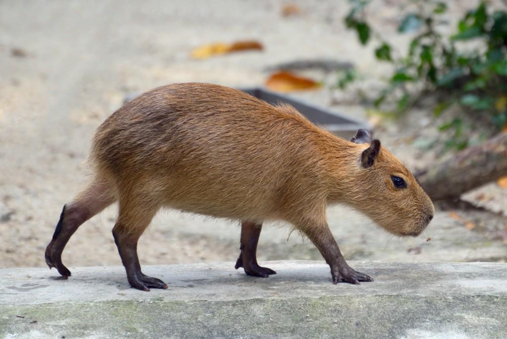 עכבר אימתני