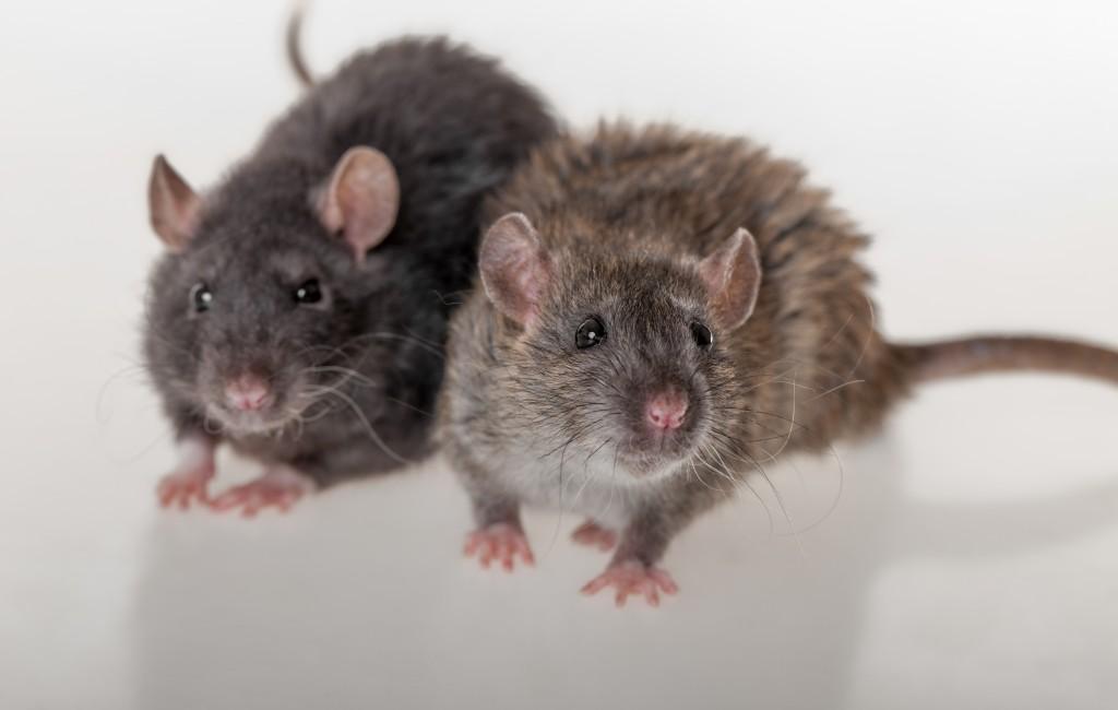 עכברי ענק