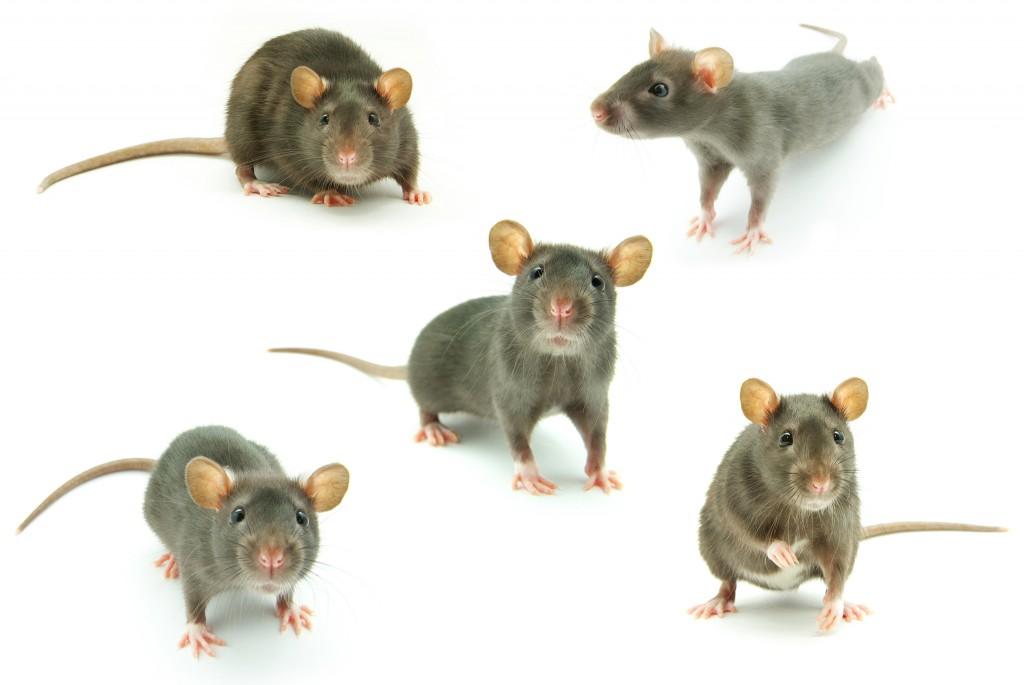 עכברי ענק האיום החדש